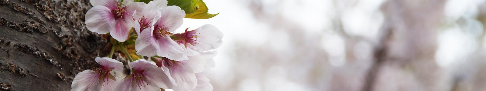 桜ヶ丘通りの桜