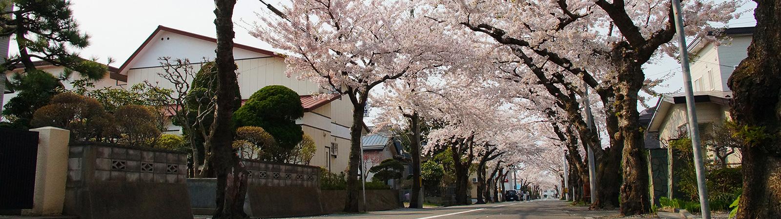 桜ヶ丘通りの桜トンネル