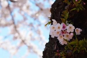 桜ヶ丘通りの桜 函館